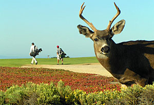 Oh deer! Captured at Pacific Grove by Steven Corton